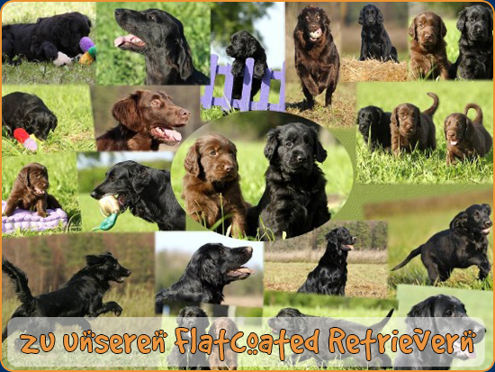 Unsere Flatcoated Retriever