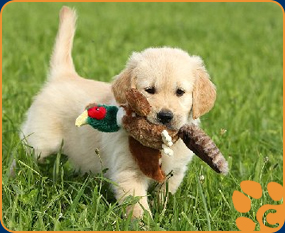 Standart Golden Retriever